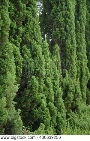 Mediterranean Cypress Or Italian Cypress, Pencil Pine. Cupressus Macrocarpa Or Hesperocyparis Macroc