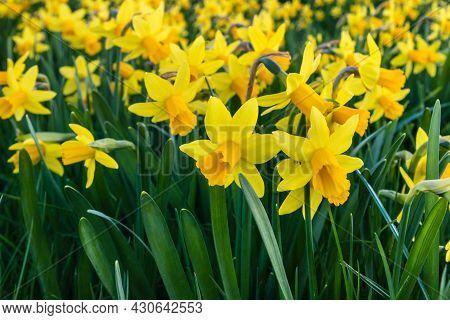 Field Of Yellow Dwarf Daffodils In Bloom Background