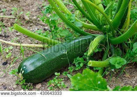 Green Zucchini In Garden. Growing Zucchini On A Vegetable Garden.