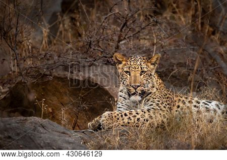 Wild Male Leopard Or Panther Portrait In Safari At Ranthambore National Park