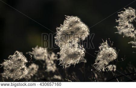 Old Man's Beard - Clematis Vitalba Or Travvelers Joy In Sunlight