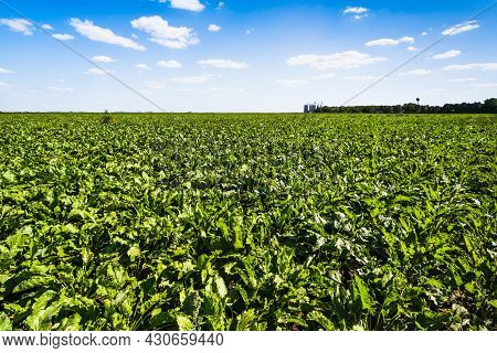 Sugar Beet (beta Vulgaris) Agricultural Field In Summer. Agricultural Landscape.