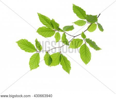 Beech branch with fresh green leaves isolated on white background. Selective focus