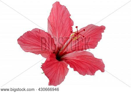 Red Flower Hibiscus Syrian Rose Close Up Isolated On White Background Macro Photography