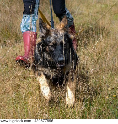 A Seven-month-old German Shepherd In Dry, High Grass