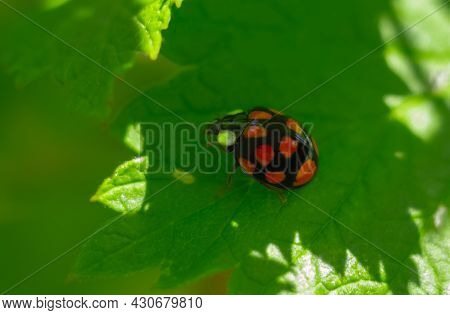 Ladybug On A Green Raspberry Leaf. Ladybug On A Sunny Summer Day.