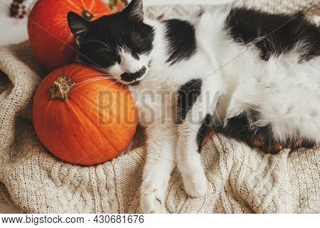 Cute Cat Sleeping On Pumpkins And Cozy Sweaters. Adorable Black And White Kitty Napping On Pumpkins.