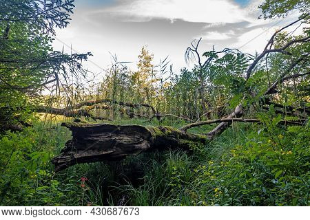 Rotten Tree Stump In The Bavarian Moor With Ferns, Reeds, Moss, Grass And Deciduous Trees And A Clou
