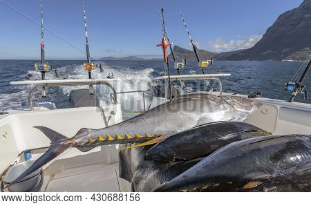 Tuna Fish Lie On The Deck Of The Yacht After Sea Fishing. Three Carcasses Of Yellowfin Tuna Fish On
