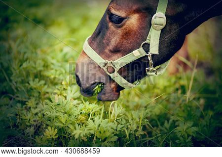 A Foal Of A Sports Horse Eats Grass. Portrait Of A Brown Colt. The Sports Foal In A Halter In The Le