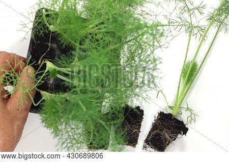 Fennel In Black Tubs For Sale And Transplantation In The Home