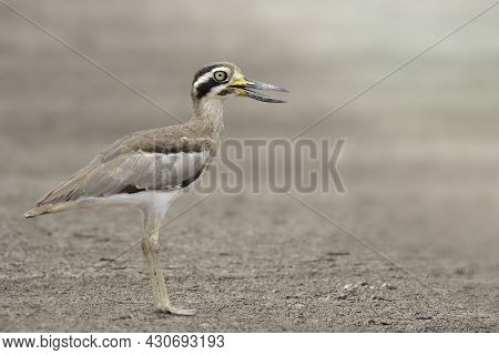 Camouflage Brown With Large Eyes And Sharp Big Beaks Standing On Clear Dirt Field Expose To Soft Sun