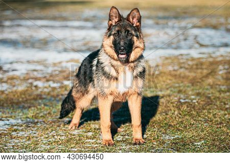 Beautiful Young German Shepherd Alsatian Wolf Dog Posing Outdoor.
