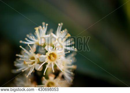 A Macro Shot In Color Of A Prunus Flower