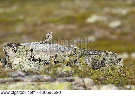 Small Songbird, Northern Wheatear (oenanthe Oenanthe) Standing On The Stone At Kiilopää, Northern Fi