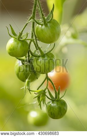 Bunch Of Green Tomatoes Hanging On The Plant. Growing Tomato In A Greenhouse