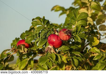 Fresh Red Ripe Fruits Of Beach Rose (rosa Rugosa) Growing In Estonian Nature