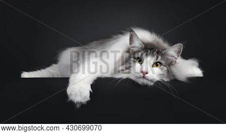 Funny Picture Of Magnificent Silver With White Adult Female Norwegian Forestcat, Laying Completelly