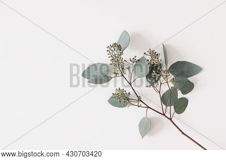 Green Eucalyptus Populus Leaves And Branches Isolated On White Background. Decorative Floral Composi