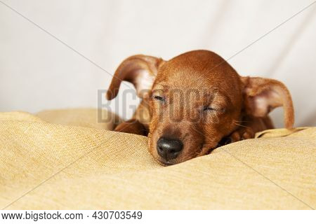 A Charming Puppy Sleeps In Comfortable Conditions. The Concept Of Caring And Attention To Pets.