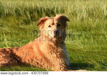 Damp Nova Scotia Duck Tolling Retriever Dog Resting In Wet Grass On A Spring Day.