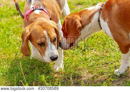 Two Beagle Dogs Sniff Each Other Opposite Each Other