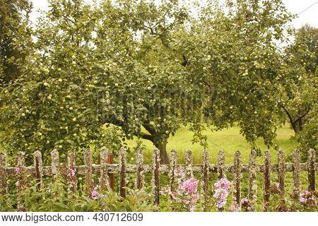 Apple Tree Branches Covered With Apples. Rich Crop Of Apples. Harvest Time In The Apple Orchard.