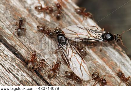 Macro Of The Colorado Field Ant Queens Emerging And Resting On Wood