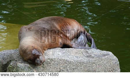 Sea Lion Resting With Closed Eyes On The Stone Bay The Water. Tranquil Scene.