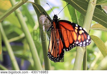 Closeup Of A Monarch Butterfly Emerging From A Chrysalis