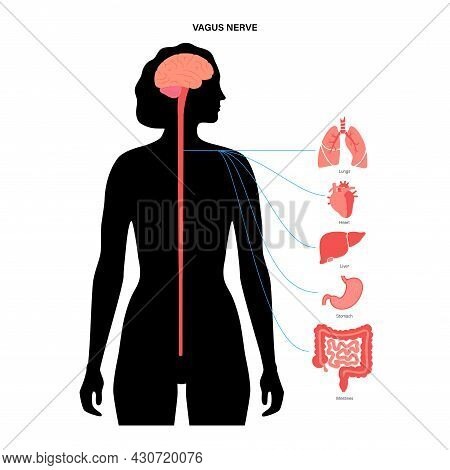 Vagus Nerve Diagram. Parasympathetic And Central Nervous System Function. Signals From Brain To Inte