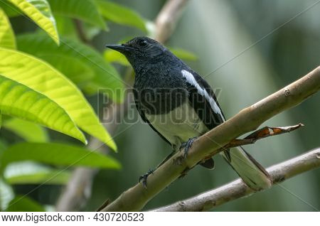Oriental Magpie Robin Bird Perched On A Guava Tree Branch In The Garden Close Up Portraiture.