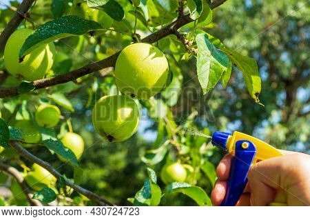 Prophylactic Treatment Of Apple Tree Branches In Summer With A Fungicide Against Pests. Spraying Pla