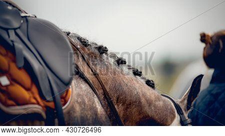 Pigtails On Neck Sports Brown Horse. Black Sports Saddle. Horse Ammunition.dressage Of Horses. Eques
