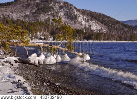 The Pine Branches Were Covered With Ice In The Waters Of The Teletskoye Lake, Which Is Not Frozen In