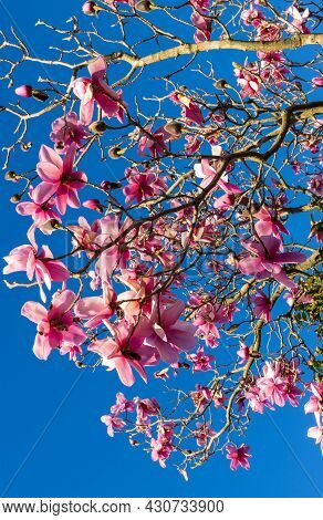 Deciduous Magnolia In Full Flower With A Clear And Bright Blue Sky.