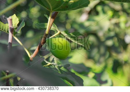 Harvest: Ripe Figs. Juicy Fruits. Fresh Fruit From The Tree