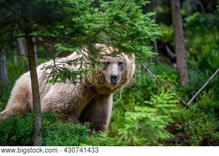 Wild Brown Bear (ursus Arctos) In The Summer Forest. Animal In Natural Habitat. Wildlife Scene