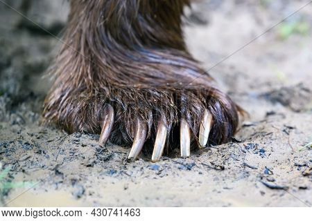 Detail Of The Bear Paws With Claws On Dirt In Summer Forest. Wildlife Scene From Nature