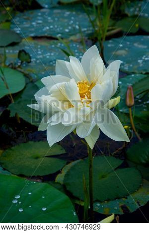 White Lotus And Green Leaf , The Photography Of A Beautiful White Lotus, The White Lotus Flower, Nat