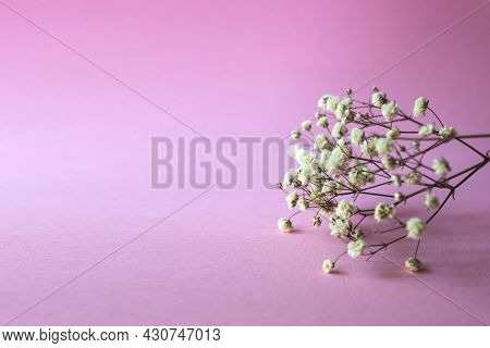 Branch Of Gypsophila Flower On A Pink Background