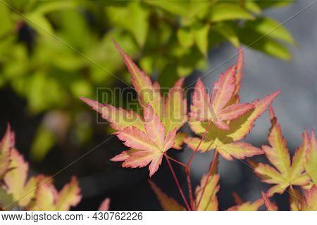 Japanese Maple Sango Kaku - Latin Name - Acer Palmatum Sango Kaku