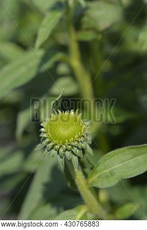 White Coneflower Alba Flower Bud - Latin Name - Echinacea Purpurea Alba
