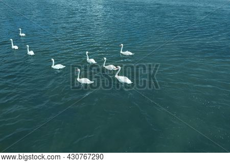 Bevy Of Beautiful White Swans Swimming Across Sea