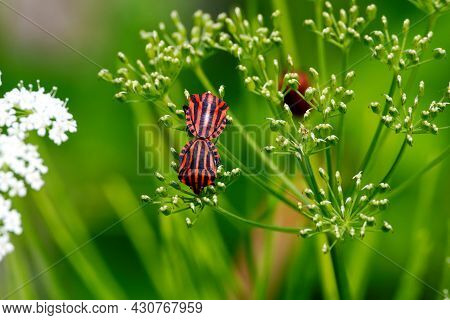 Graphosoma Lineatum Red And Black Striped Stink Bug Mating