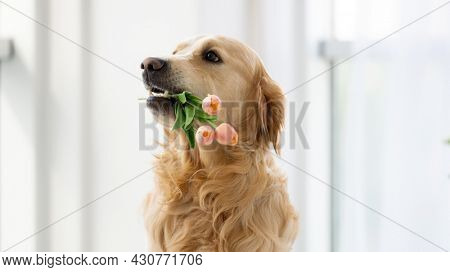 Golden retriever dog sitting in the room with daylight close to window, holding tulips flowers in his teeth and posing. Purebred pet doggy indoors portrait with bouquet