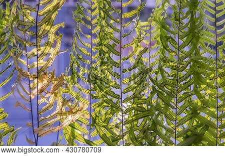 Beautiful Background With Young Green Ferns Leaves In Sunlight. Perfect Natural Fern Pattern, Copy S