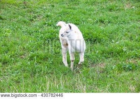 Fluffy White Guanaco Baby On Green Grass