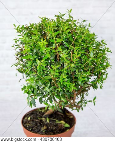 The Plant Is An Ordinary Myrtle (latin Mýrtus Commúnis) With Small Green Leaves In A Clay Pot On A W