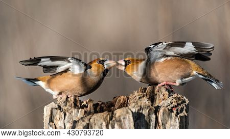 Hawfinch Coccothraustes Coccothraustes. Songbirds Fight On The Feeder For Food In Winter.